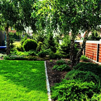 ogród z brzozami